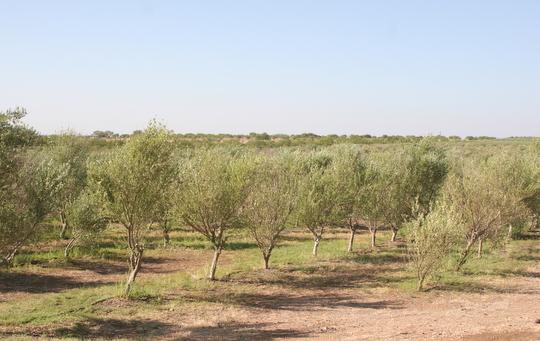 Meet a Farmer: Texas Olive Trees