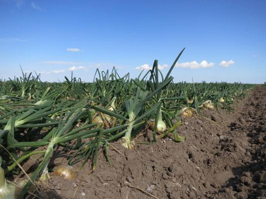 Onions near Monte Alto