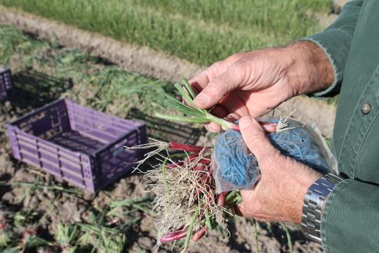 Onion plant at Dixondale Farms