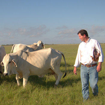 Farmer Sam Sparks checks on his Brahman.