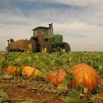 Pumpkin harvest in Floydada