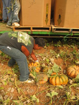 Hand picking pumpkins