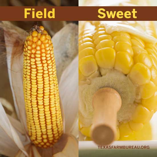 Differences between field and sweet corn