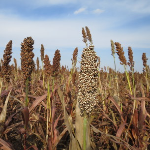 Grain sorghum_Photo by Jessica Domel/Texas Farm Bureau