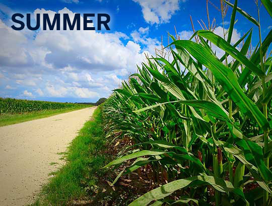corn_SUMMER