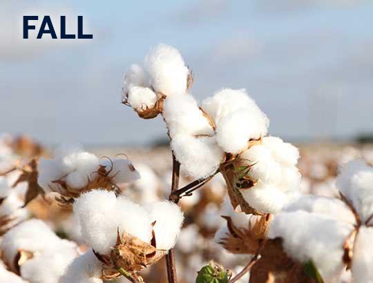 cotton_FALL