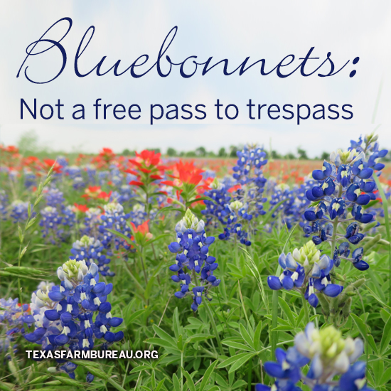 Bluebonnets: Not a free pass to trespass (Photo by Jessica Domel)