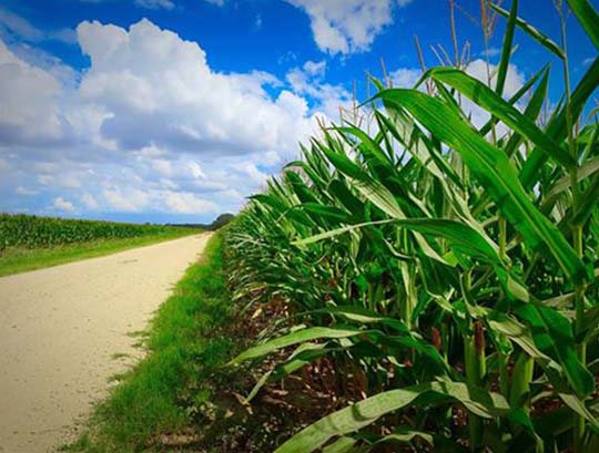 Miles and miles of corn line the roads in the summer.