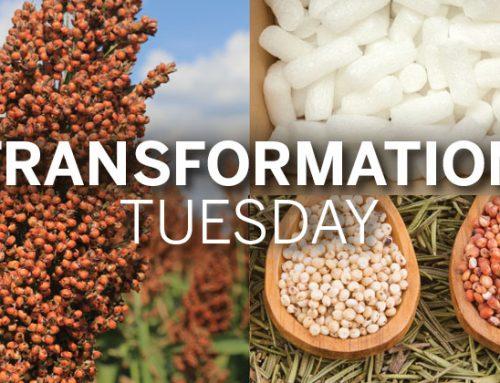 Transformation Tuesday: Grain Sorghum