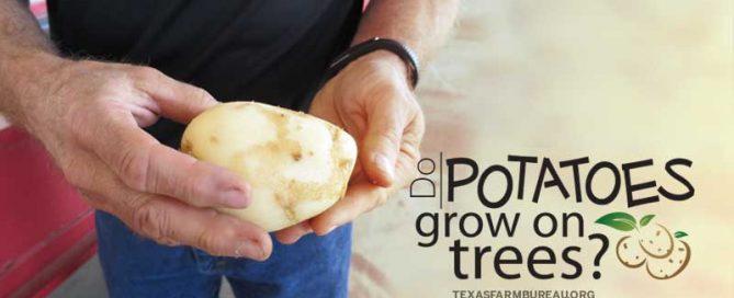 Do potatoes grow on trees?