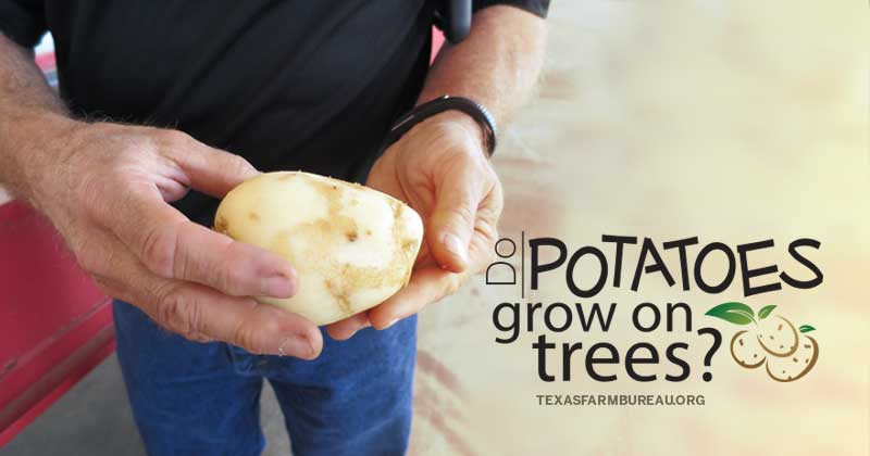 Do potatoes grow on trees?