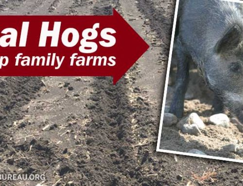 Feral hogs root up our family's farm