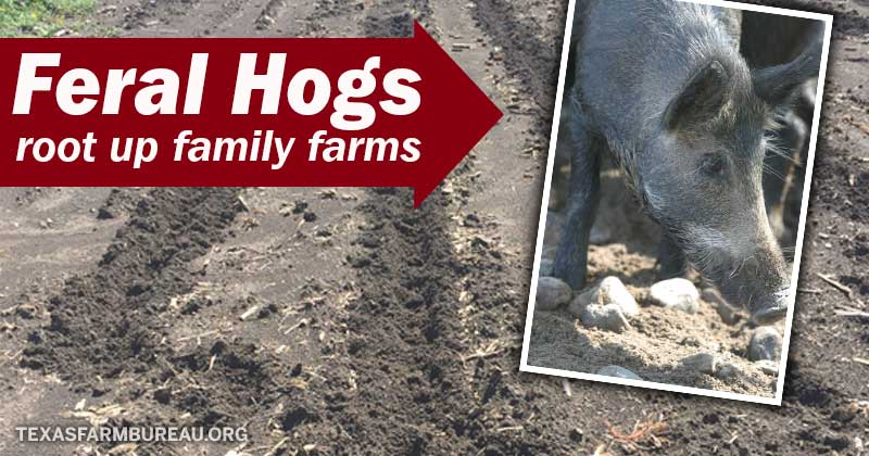 feral hogs root up family farms