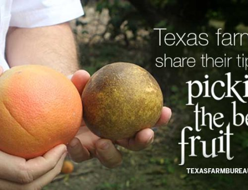 Texas farmers share their tips for selecting good fruit