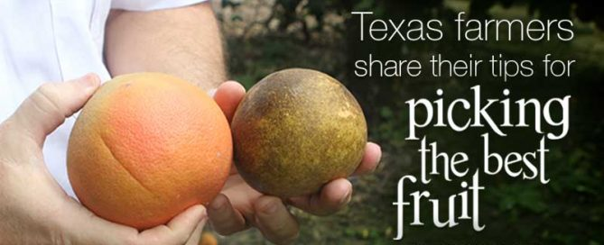 Texas farmers share their tips for picking the best fruit