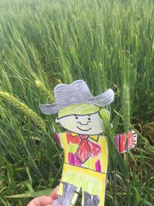 Flat Golden Fox hanging out in a Central Texas wheat field