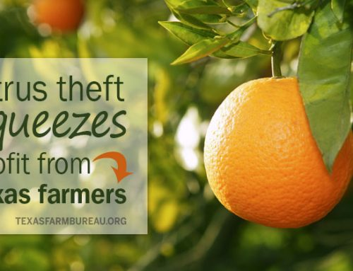 Citrus theft squeezes profit from Texas farmers