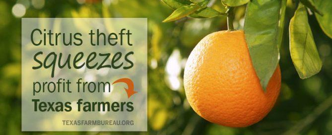 citrus theft