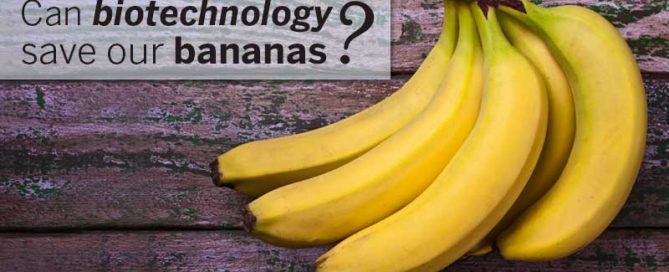Can biotechnology save our bananas?