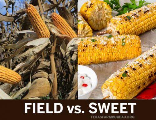 5 differences between field corn, sweet corn