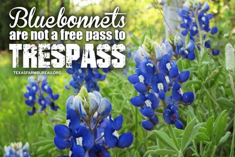 bluebonnets_wildflower_private property