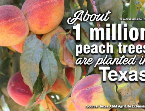 Peaches are a Texas summertime favorite