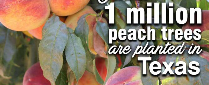 August is National Peach Month. And in Texas, those peaches are a summertime favorite! Justin Walker shares more information about Texas peaches on Texas Table Top.