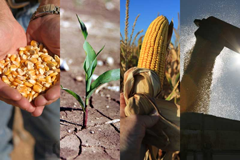 Stages of corn growth