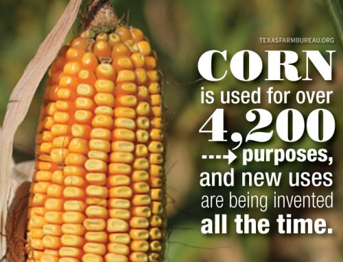 Transformation Tuesday: Corn