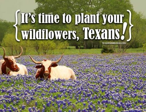Texans, it's time to plant your wildflowers
