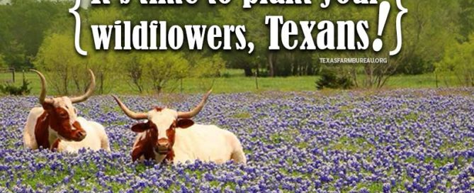Love Texas bluebonnets? Indian paintbrushes? Winecups? It's time to start planting those wildflowers now! Get a few tips on Texas Table Top.