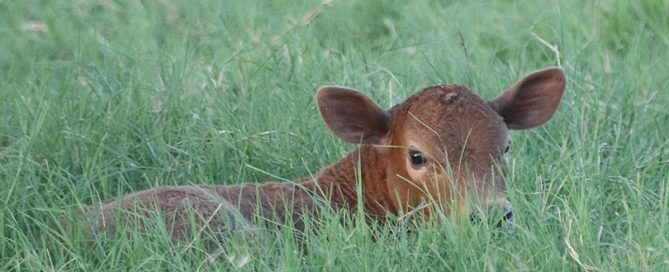 Let sleeping calves lie. That's the advice from ranchers during fall calving season to drivers who see lone calves in the pasture.