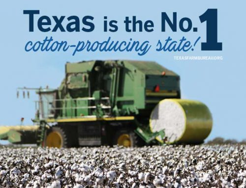 How is cotton harvested?