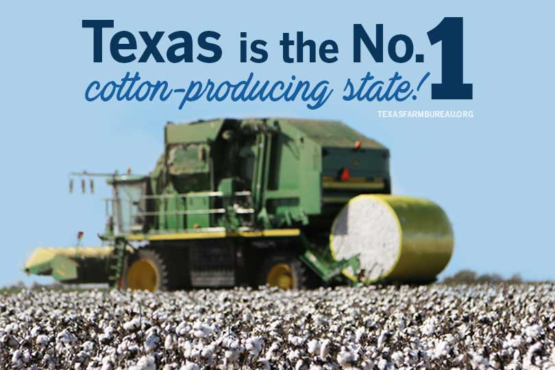 Cotton being harvested in Texas