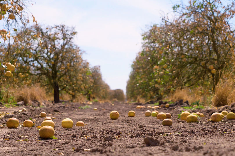 The majority of the Texas citrus crop is ruined. Much of the fruit fell from the trees and sits on the orchard soil.