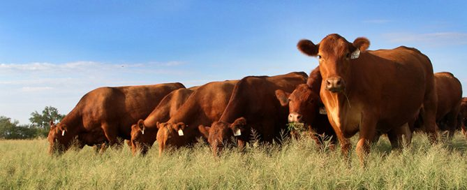 """Have you """"herd?"""" May is National Beef Month. Beef up your knowledge about Texas cattle in this post on Texas Table Top."""