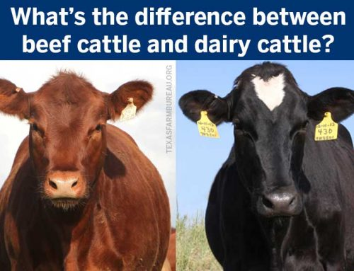 What's the difference between beef cattle and dairy cattle?