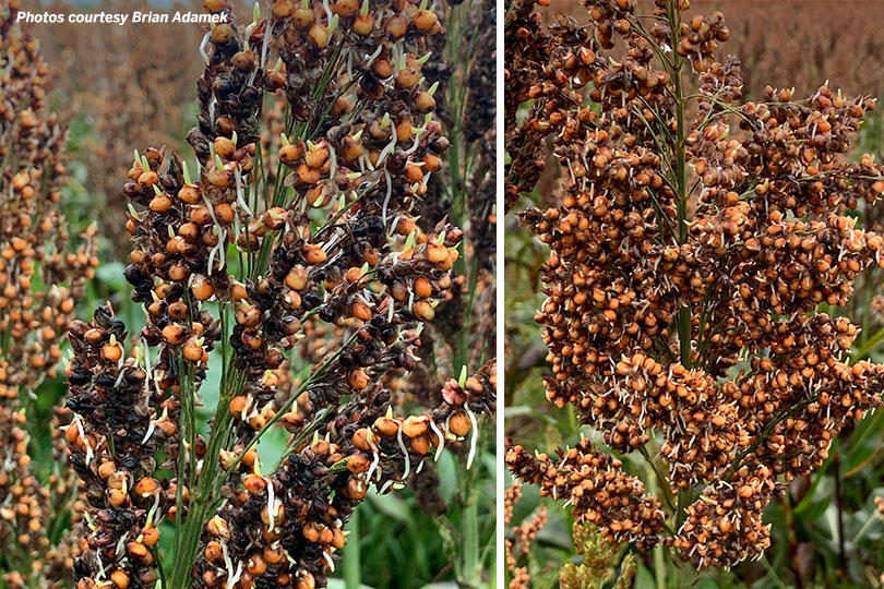 These photos of grain sorghum shows sprouting in the seed heads. Photo courtesy of Victoria County farmer Brian Adamek