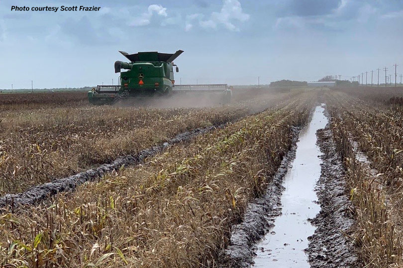 Nueces County farmer Scott Frazier leaves ruts in the field trying to harvest his grain sorghum crop between rains. Click here to listen to an interview with him on the crop conditions.