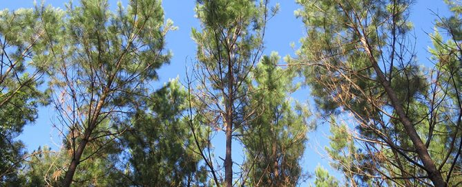 The tall, tall trees in East Texas stretch to the sky and are cared for by timber farmers and foresters.